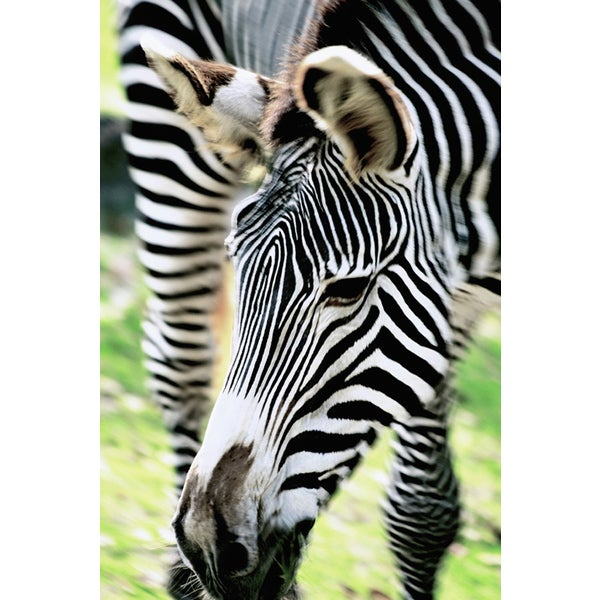 'Zebra Close-up' Photography Canvas Print