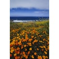'California Poppies on the Cliffs at Big Sur, California' Canvas Art Print