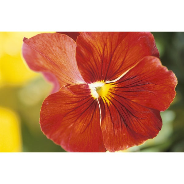 'Blooming Pansy Flower' Canvas Art Print