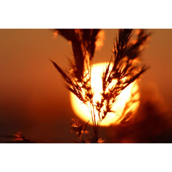 'Sunset Through Bulrush' Print Canvas Wall Art