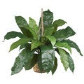 Large Birds Nest Fern Hanging Basket