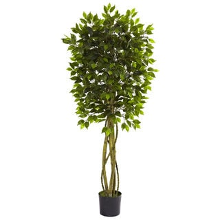 5.5-foot Ficus Tree