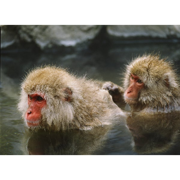 'Monkeys Swimming in Water' Wildlife Photography Wall Art Canvas Print