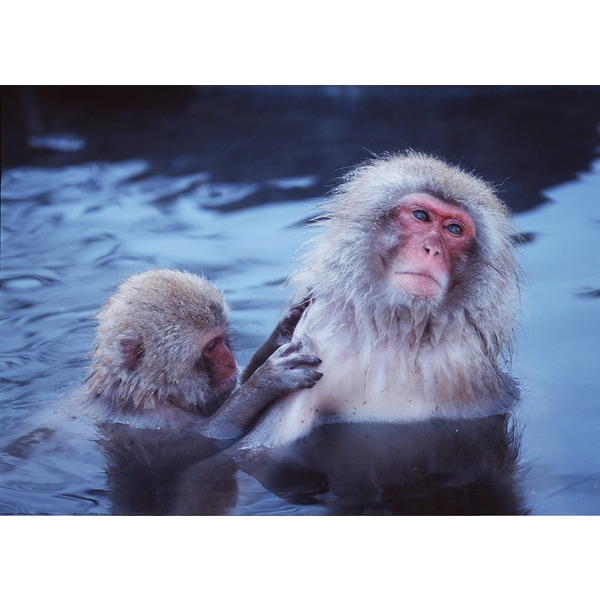 'Selective Focus, Monkeys Swimming in Water' Wildlife Photography Wall Art Canvas Print