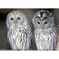 'Owls' Wildlife Photography Wall Art Canvas Print