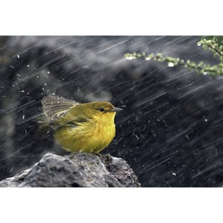 'Yellow Bird Fringillidae, Galapagos Islands' Wildlife Photography Wall Art Canvas Print
