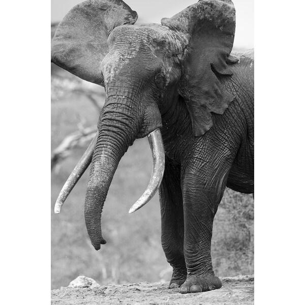 'Elephant calf, Chyulu Hills, Ol Donyo Wuas, Kenya, Africa' Wildlife Photography Wall Art Canvas Print