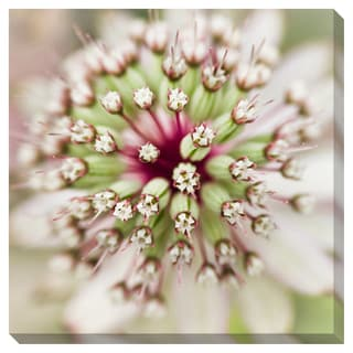 Astrantia Flower in Summer Gallery Wrapped Canvas