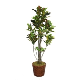 "Laura Ashley 77"" Tall Croton Tree with Multiple Trunks in 17"" Fiberstone Planter"