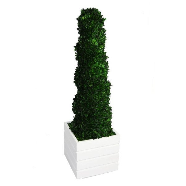 Laura Ashley 56-inch Tall Preserved Natural Spiral Boxwood Topiary