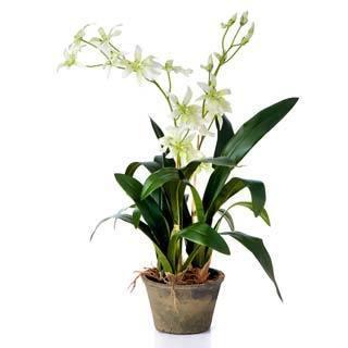 Sage & Co Odontoglossum Plant in 7.5-inch Pot