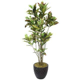 "Laura Ashley 78"" Tall Croton Tree with Multiple Trunks in 16"" Fiberstone Planter"