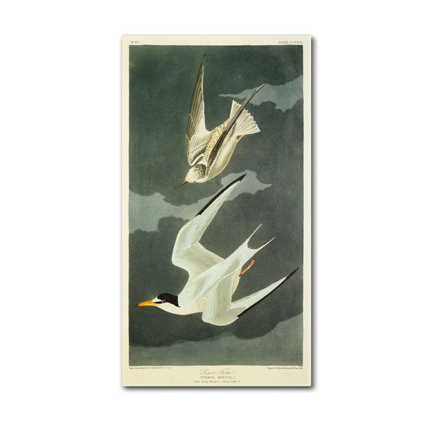 John James Audubon 'Lesser Tern and Little Tern' Canvas Art