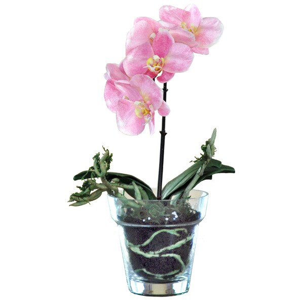 Phalaenopsis Orchid/ Glass Vase