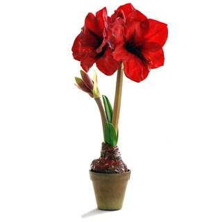 20-inch Red Amaryllis in Terra Cotta Pot