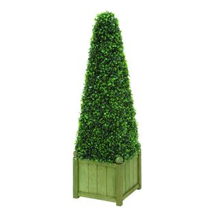 Pyramid Shaped Boxwood Plant