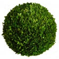 Floral Mills Ball Preserved Boxwood Topiary