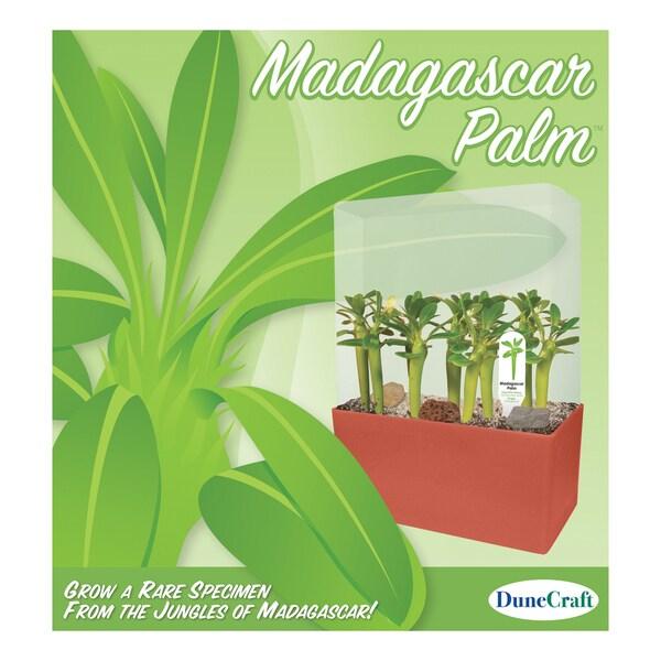 Madagascar Palm Plant Cube Kit