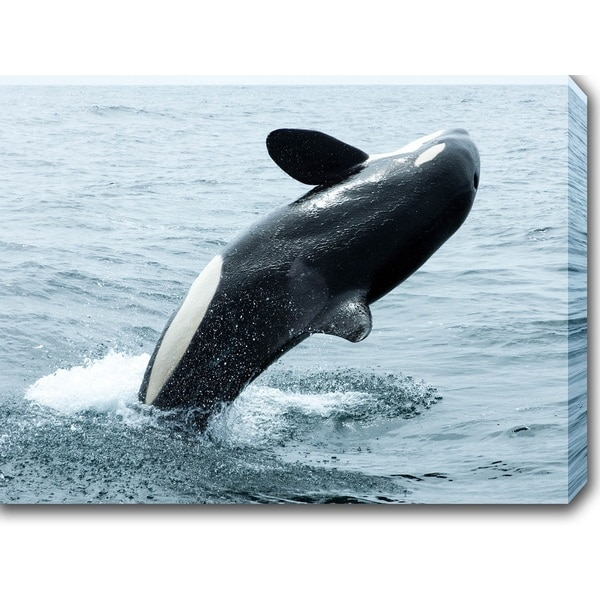 'Orca - The Killer Whale' Gallery-wrapped Photography Canvas Art