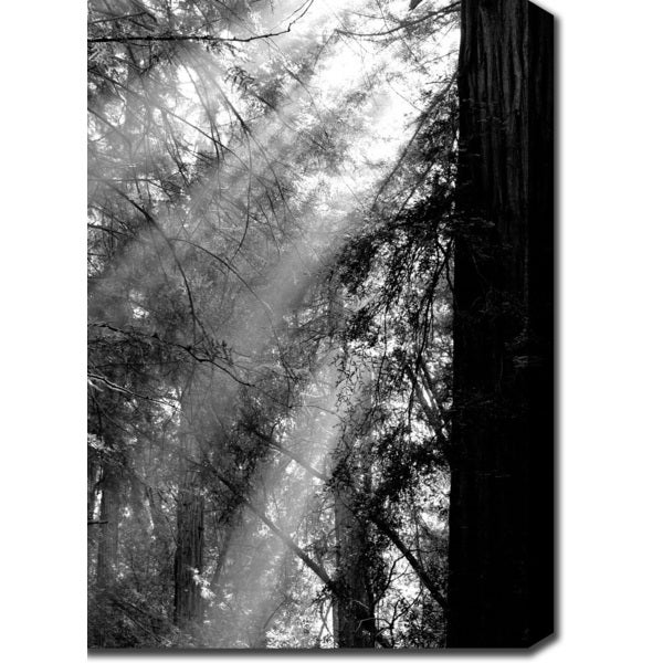 'Sun Rays through the Redwoods' Canvas Art