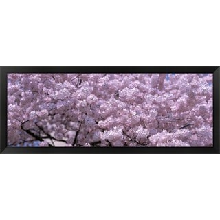 'Cherry blossoms, Washington DC' Framed Panoramic Photo