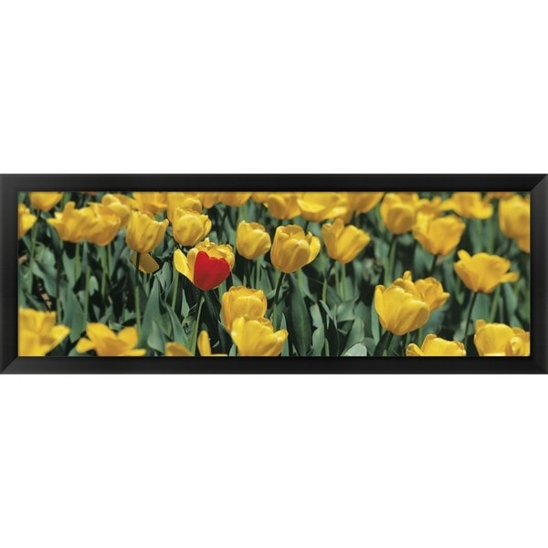 'Yellow tulips in a field' Framed Panoramic Photo