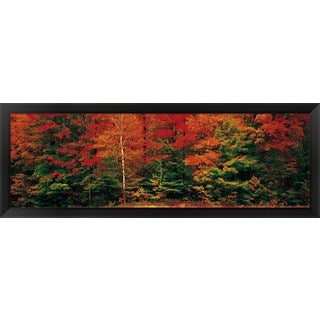 'Fall Maple Trees' Framed Panoramic Photo