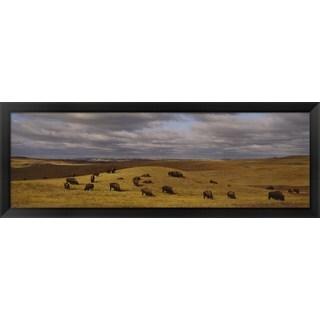 'Buffaloes grazing, North Dakota' Framed Panoramic Photo