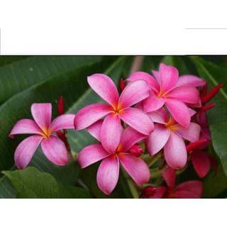 Hawaiian Pink Plumeria Cuttings (2 Pack)