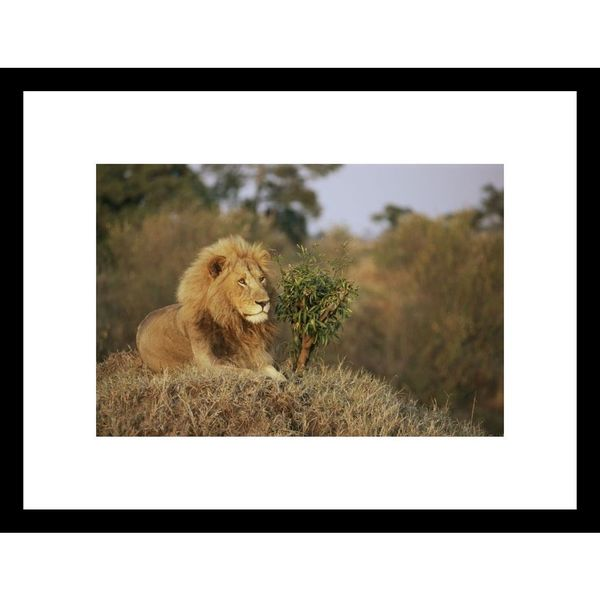 Roy Toft 'A male African lion proudly looks over its domain' Framed Photo