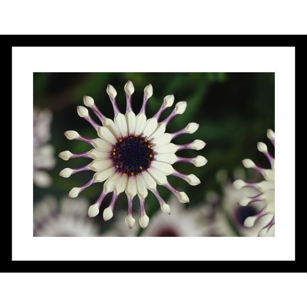 Jonathan Blair 'A close view of a pink South African daisy' Framed Photo