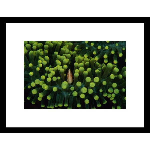 Heather Perry 'A clown fish hiding in anemones' Framed Photo