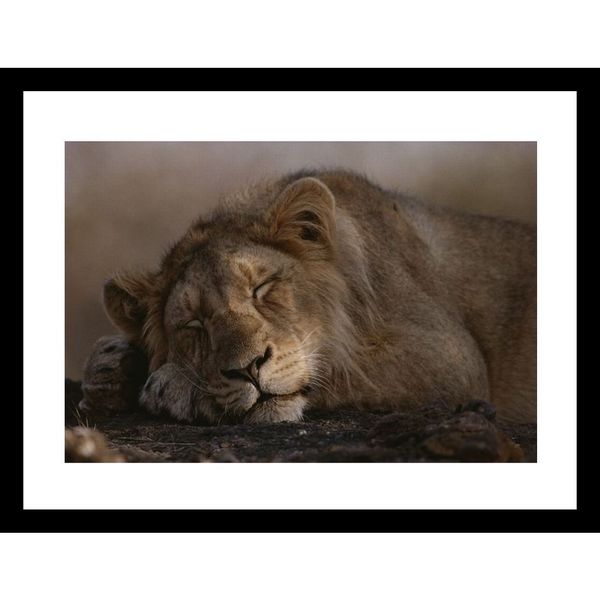 Mattias Klum 'Asian lion, sleeping, Gir Forest, Gujarat State, India' Framed Photo