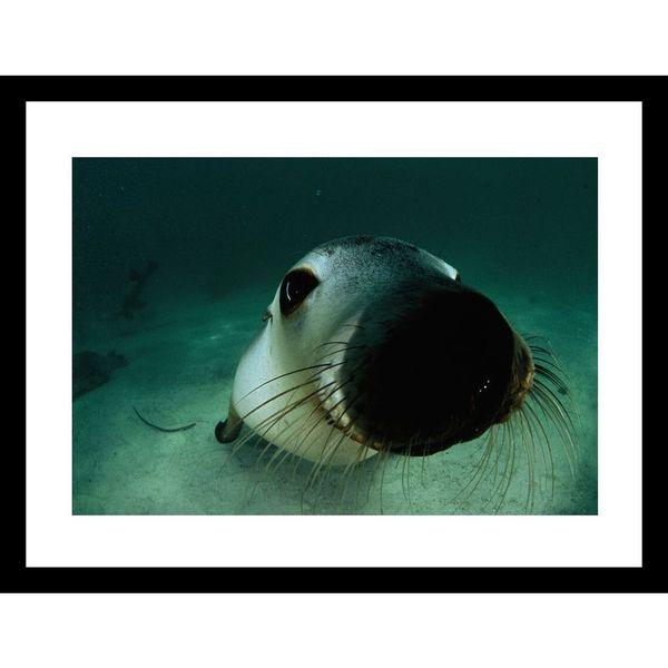 David Doubilet 'Australian Sea Lion off Adelaide, 2000' Framed Photo