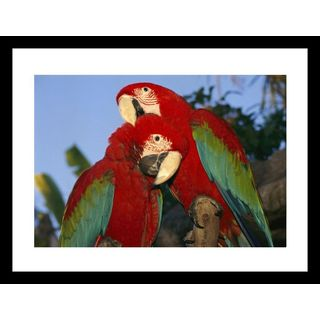 Richard Nowitz 'A pair of captive red and green macaws at Busch Gardens' Framed Photo