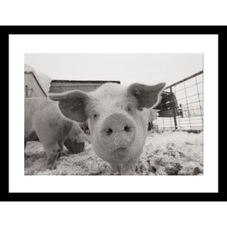 Joel Sartore 'Portrait of a young pig' Framed Photo