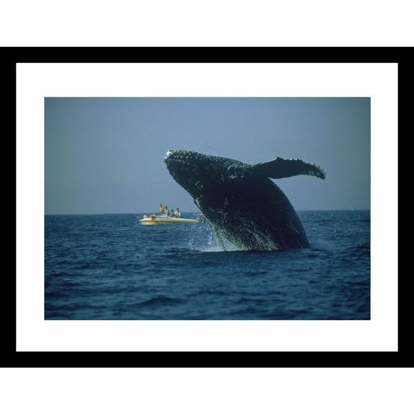 David Doubilet 'A humpback whale leaps from the water near a boat' Framed Photo