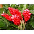 Hawaiian Awapuhi Ula Ula Red Ginger Root (4 Pack)