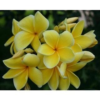 Hawaiian Yellow Plumeria Cuttings (2 Pack)