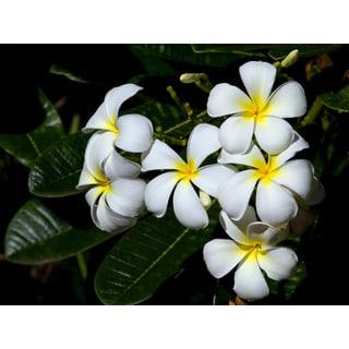 Hawaiian White Plumeria Cutting (2 Pack)