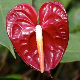 Hawaiian Anthurium Starter Plant