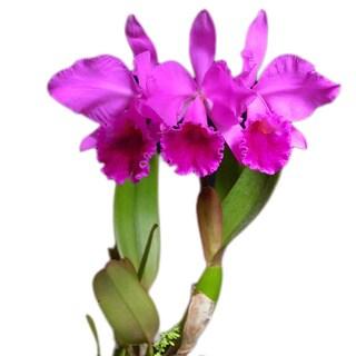 Hawaiian Cattleya Orchid Plant