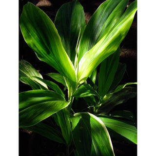 Hawaiian Green/ Red Combo Ti Leaf Logs (2 Pack)