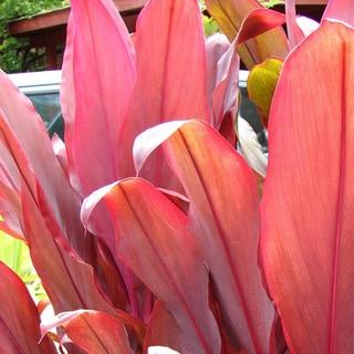 Hawaiian Red Ti Leaf Logs (2 Pack)