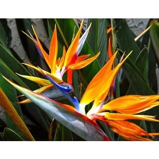 Hawaiian Bird of Paradise Starter Plant