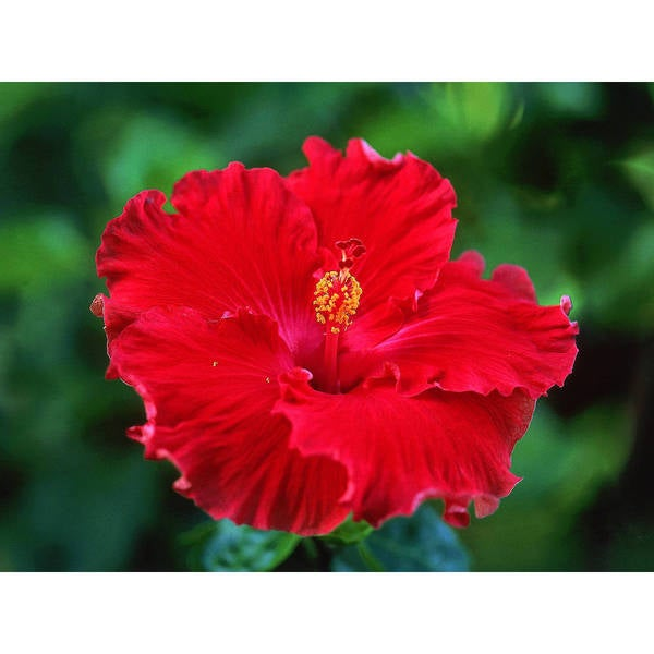 Hawaiian Red Hibiscus Cutting (4 Pack)