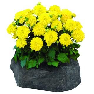 Dahlia Yellow Large Flowerock