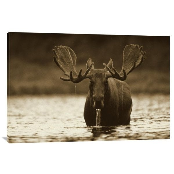 Tim Fitzharris 'Moose Male Raising its Head While Feeding on the Bottom of a Lake, North America' Stretched Canvas Art