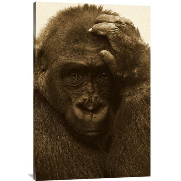 San Diego Zoo 'Western Lowland Gorilla with Hand on Head' Stretched Canvas Art