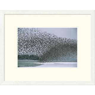 Michael Quinton 'Western Sandpiper flock migrating, spring, Copper River Delta Alaska' Framed Art Print